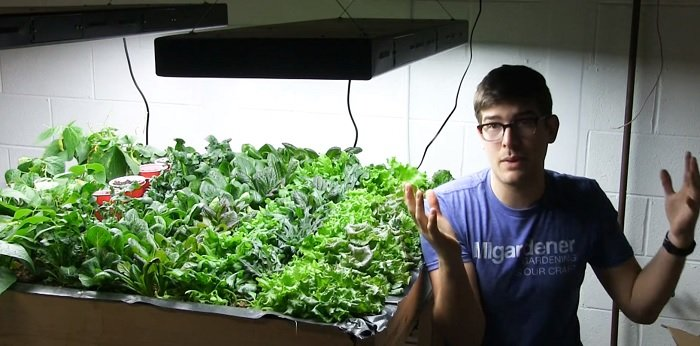 Lettuce light requirements