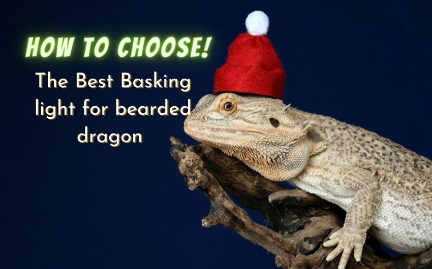 best basking light for bearded dragon, How to Choose the Best basking light for bearded dragon (For a Happy Habitat),